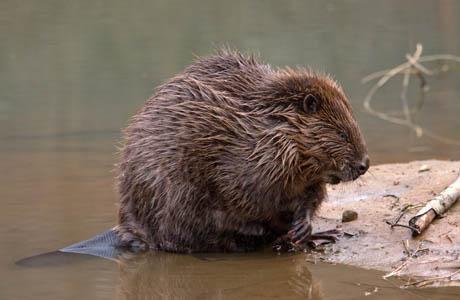 Dam good reading for beaver aficionados