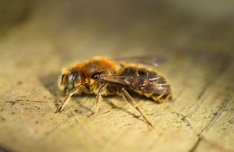 Buzz for new bee found in Greenwich