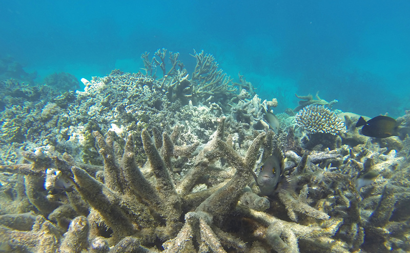 New Research Reveals Coral Bleaching On Great Barrier Reef