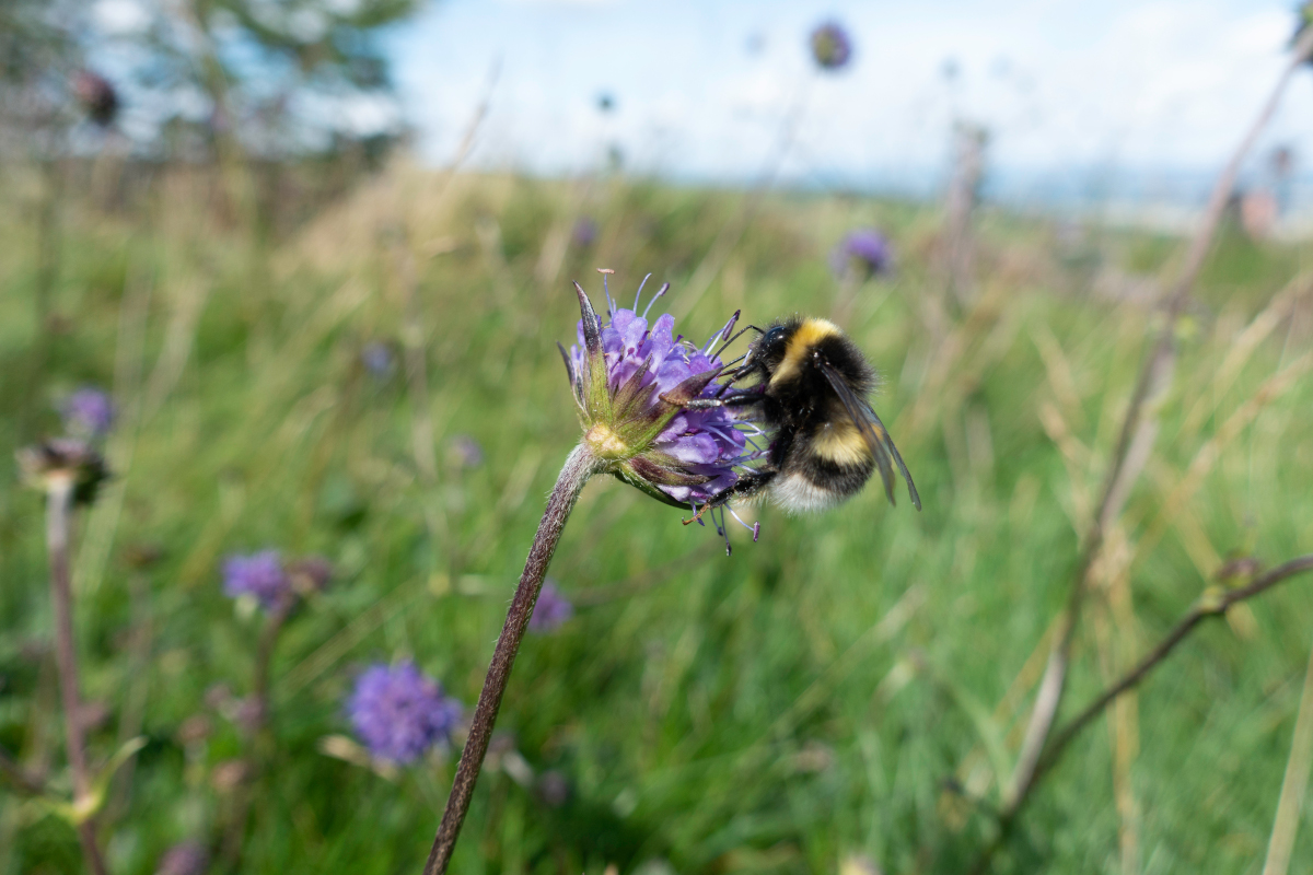 Scotland-B-Lines-Bumblebee-on-Scabious