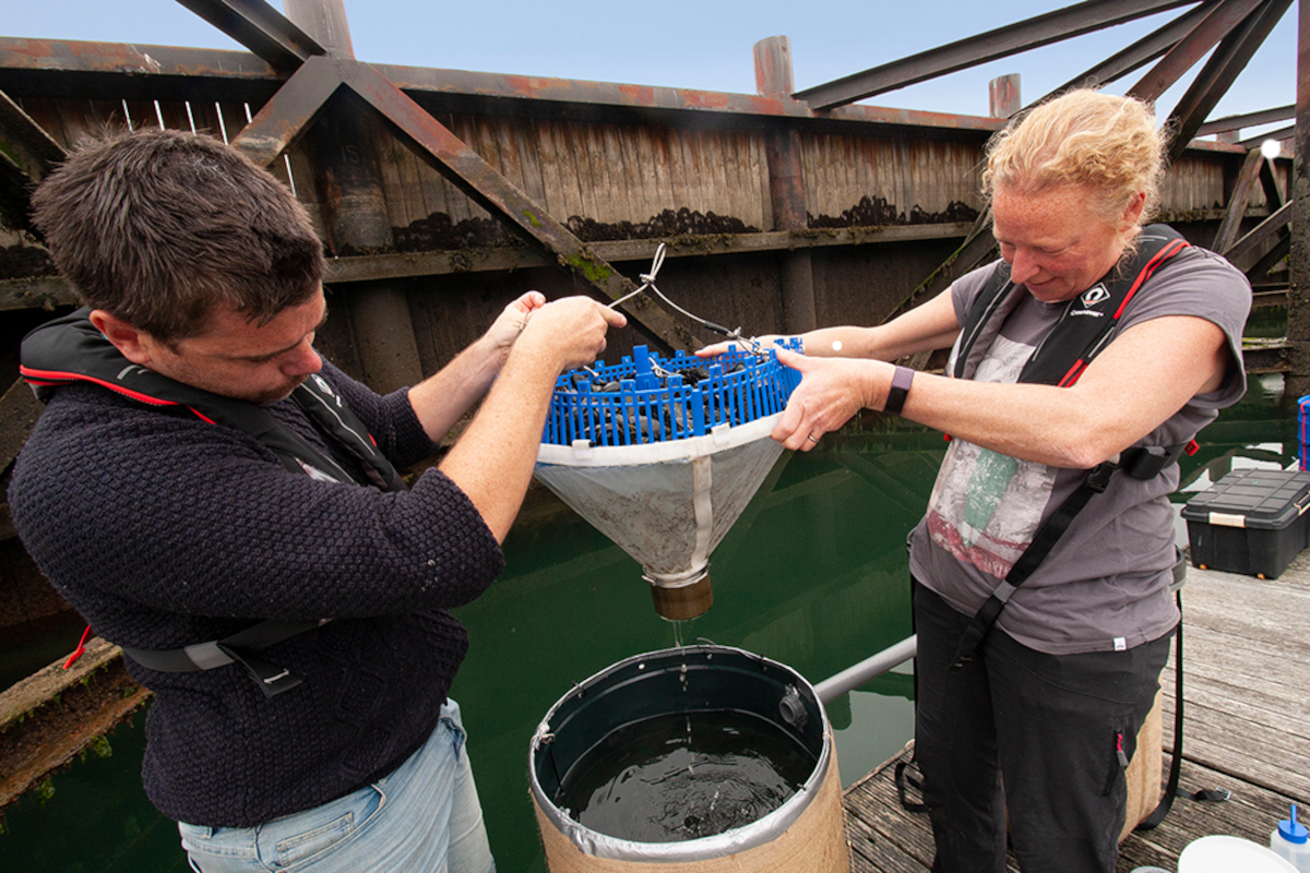 Using mussels for microplastic clean-up