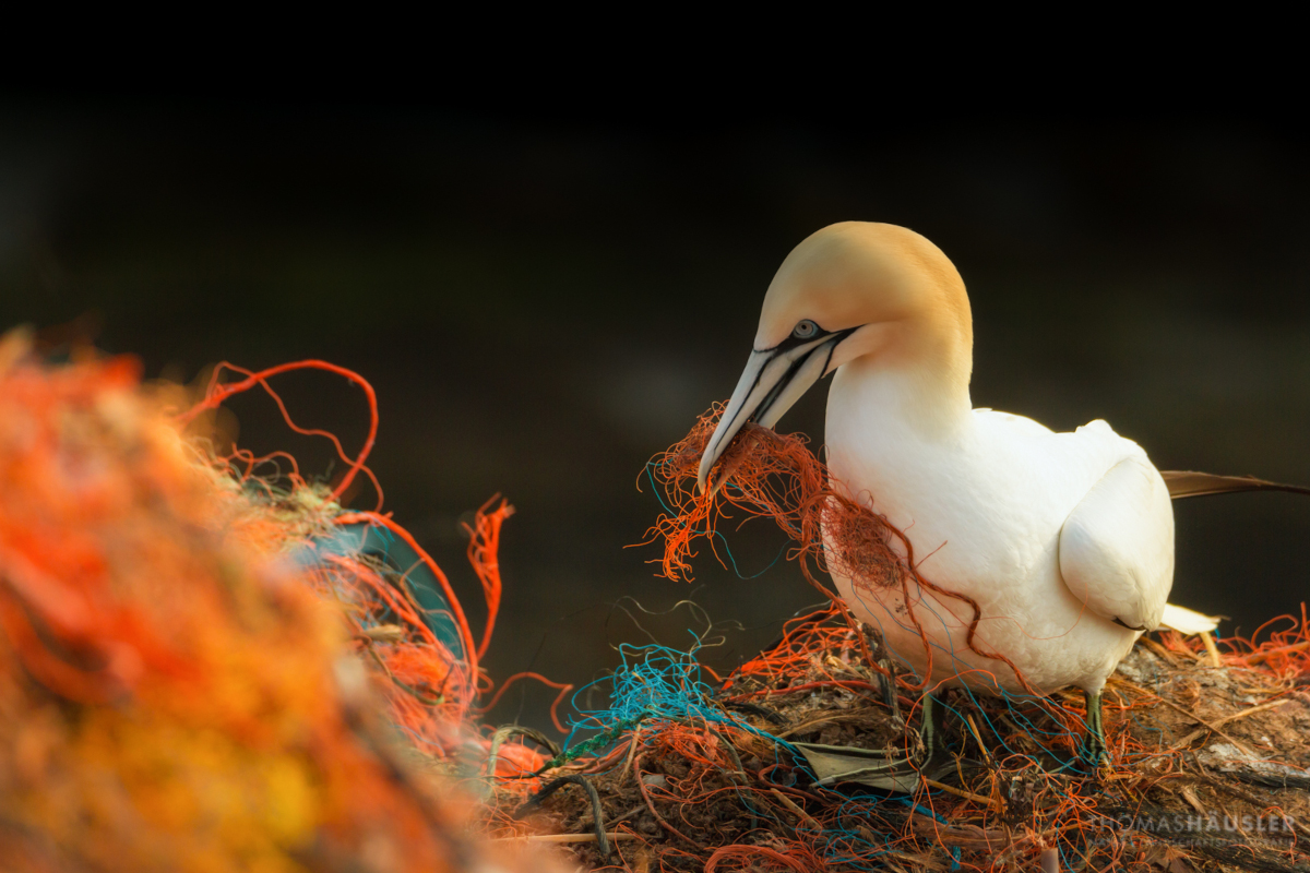 Northern-gannets-and-plastic