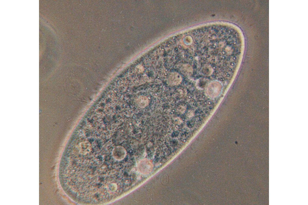 An optical microscope image of Paramecium aurelia.
